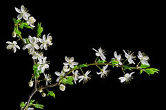 White blossom cherry plum Stock Photography