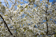 White blossom on cherry tree Stock Images