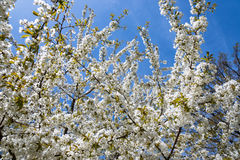 White blossom on cherry tree Royalty Free Stock Image