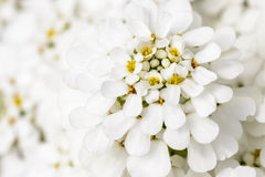 White blossom Stock Images