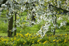 White blossom in countryside. Scenic view of white blossom on tree in countryside stock images