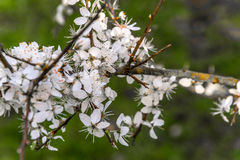 White blossom. Crab apple tree blossom in full bloom stock images