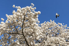 White blossom and dove flying in blue sky Royalty Free Stock Photography