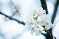 White Blossom Flower Selective Focus Photo Royalty Free Stock Photography