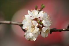 White, Blossom, Flower, Spring Stock Image