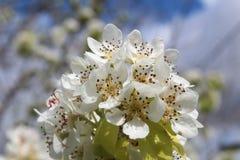 White, Blossom, Flower, Spring Royalty Free Stock Photos