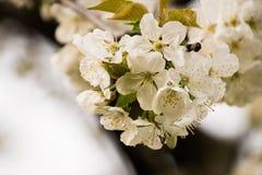 White, Blossom, Flower, Spring Stock Photo