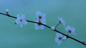 White Blossom Flowers Covered in Water Droplets. Photographed with a Tungsten Filter Stock Images
