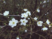 White blossom flowers. English forest white blossom tree closeup Stock Photography