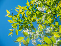White blossom flowers and green leaves of cherry flower tree under blue sky in sunny day Royalty Free Stock Images