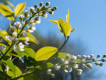 White blossom flowers and green leaves of cherry flower tree under clear deep blue sky in sunny day Royalty Free Stock Photo