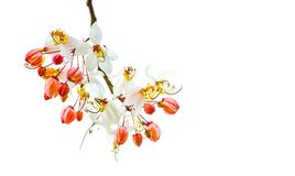 Free White Blossom Flowers Of Cassia Bakeriana Or Wishing Tree On Its Branch Isolated On White Background. Stock Photography - 118857432