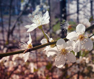 White blossom flowers - stylized Stock Photography