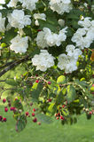 White blossom on fruit tree Royalty Free Stock Image