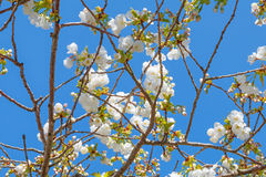 White blossom of Japanese cherry tree Stock Images