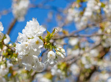 White blossom of Japanese cherry tree with shallow depth of fiel Stock Photos