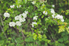White blossom on a lush green branch Royalty Free Stock Photos