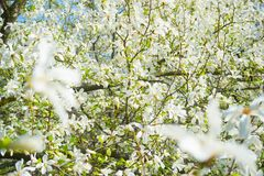 White blossom magnolia tree flowers Stock Photos
