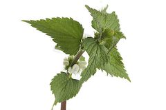 White blossom nettle royalty free stock photos