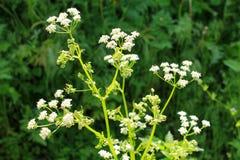 Free White Blossom Of Hemlock Royalty Free Stock Photography - 71919657