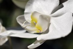 White blossom of a phalaenopsis. Macrophotography of a blossom of a phalaenopsis, a triopical flowering plant of the orchid family Royalty Free Stock Photography