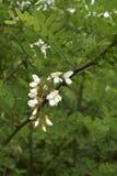 Robinia pseudoacacia blossom. White blossom of Robinia pseudoacacia tree Royalty Free Stock Photo