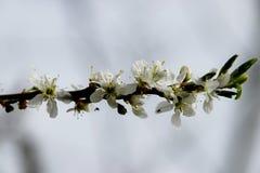 White blossom of the salix in the Groene Hart park in Nieuwerkerk aan den Ijssel.  stock photo