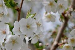 White blossom of the salix in the Groene Hart park in Nieuwerkerk aan den Ijssel.  royalty free stock photos