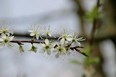 White blossom of the salix in the Groene Hart park in Nieuwerkerk aan den Ijssel.  stock images