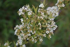 The white blossom of a spiraea bush. Royalty Free Stock Image