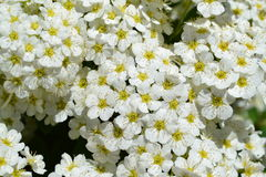 White blossom, spiraea Stock Photo