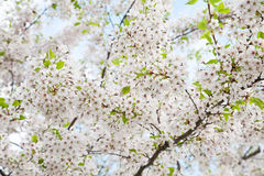 White blossom in spring Royalty Free Stock Images