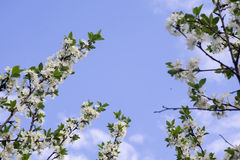 White Blossom in Spring Royalty Free Stock Photo