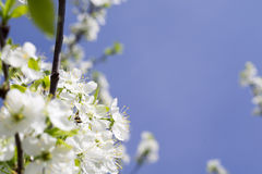 White Blossom in Spring Stock Images
