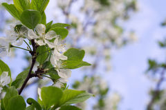 White Blossom in Spring Royalty Free Stock Photography