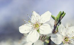 White Blossom Spring Royalty Free Stock Images
