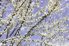 White Blossom Spring Stock Photography