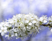White Blossom Spring Stock Image