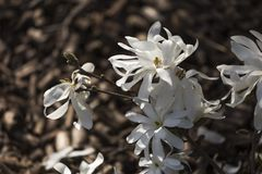 White blossom of star magnolia. Magnolia stellata in the garden stock photos