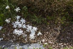 White blossom of star magnolia. Magnolia stellata in the garden stock photo