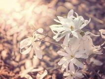 White blossom of star magnolia in sunlight. Magnolia stellata in the garden stock images
