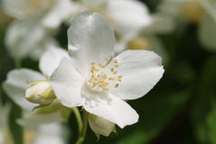 White blossom of sweet mock orange Stock Image