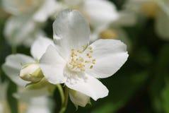 White blossom of sweet mock orange. (Philadelphus coronarius Stock Image