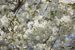 White blossom on tree Royalty Free Stock Image