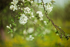 White blossom on tree. White blossom on branch of plant or tree with green nature background Stock Images
