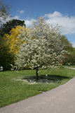 White blossom tree. White tree in blossom Royalty Free Stock Photos