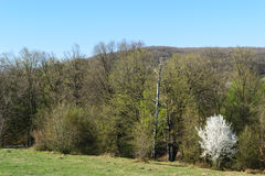 White blossom tree against green forest in the springtime. White blossom wax cherry tree against green forest in the springtime Royalty Free Stock Image
