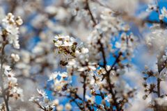 White blossom tree and bee. A white blossom tree and bee at blue sky background Stock Image