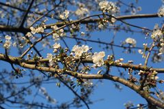 White blossom tree. Blossom blooming in Holland Royalty Free Stock Image