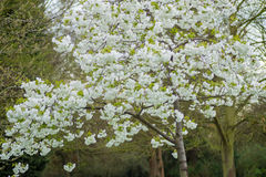 White blossom on a tree. White blosson on a tree at Springtime green lush foliage background Royalty Free Stock Photos